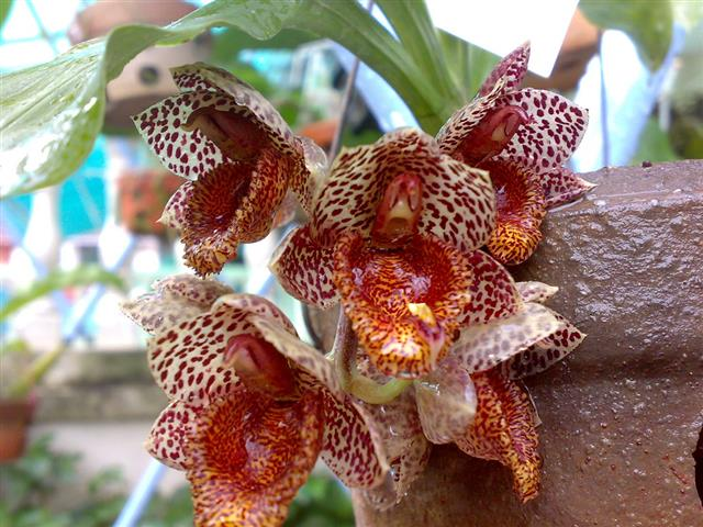 catasetum denticulatum