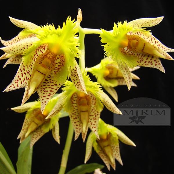 catasetum-fimbriatum-600x600