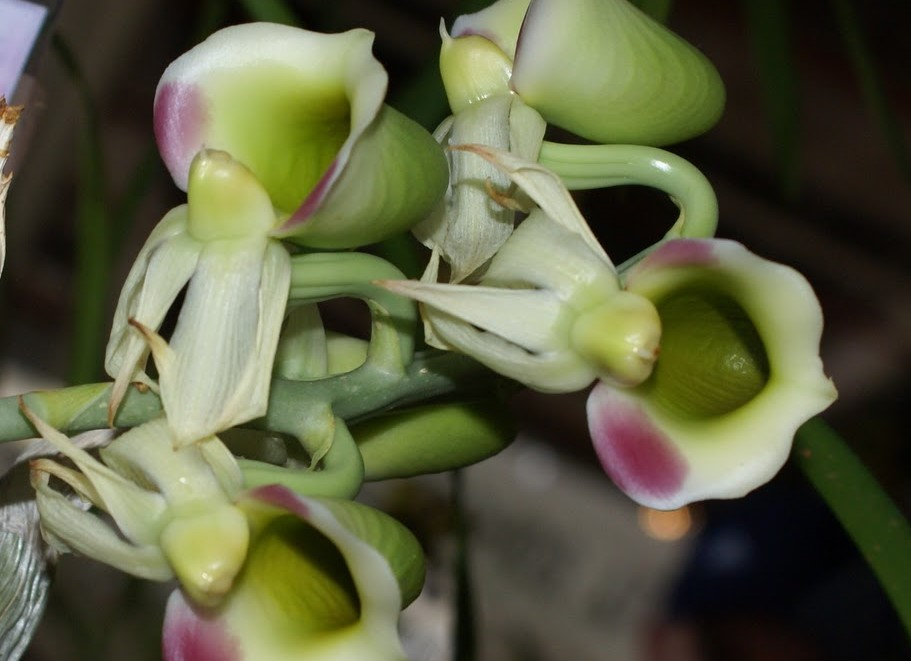 catasetum flor feminina