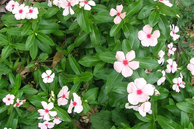 catharanthus_roseus40