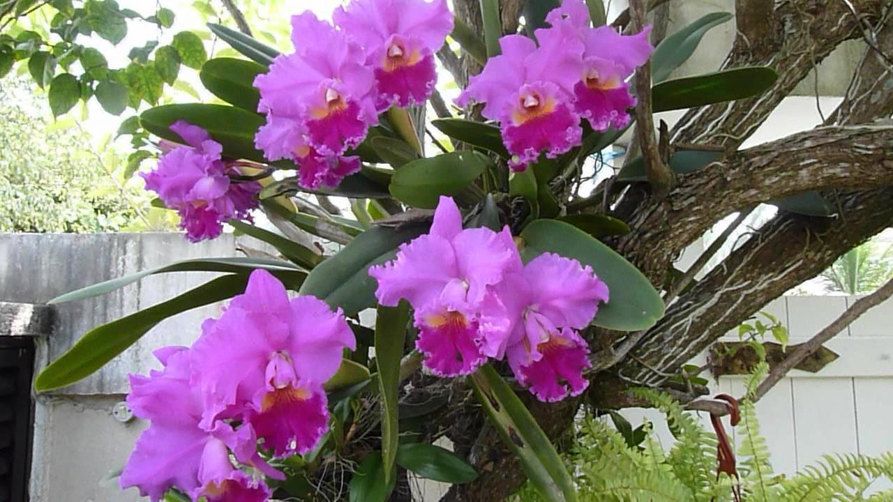 Conheça Algumas Variedades De Orquídeas Cattleyas