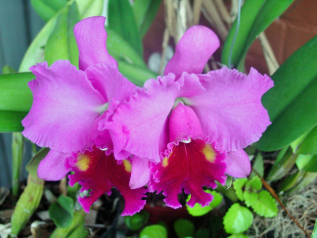 cattleya Turambeat