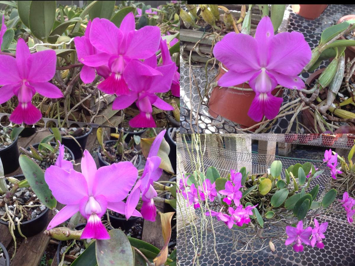 cattleya-walkeriana