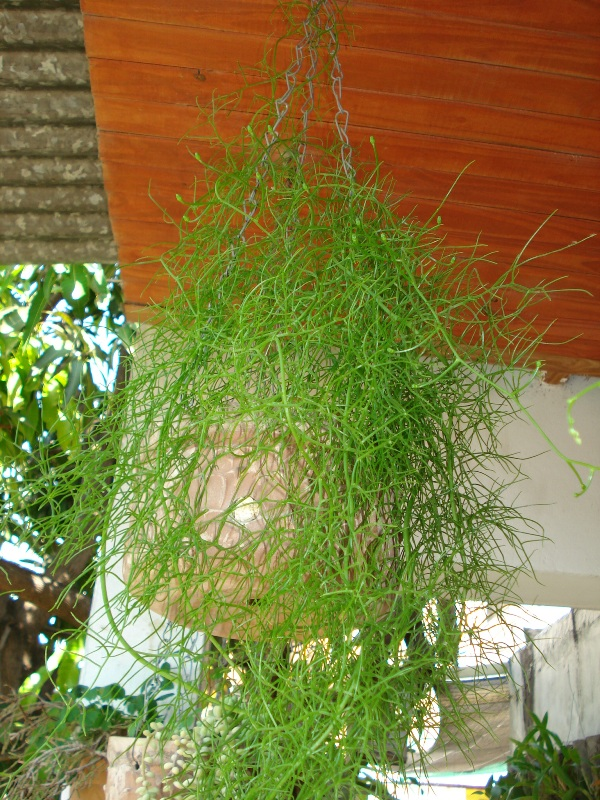 cebola trepadeira (bowiea volubilis)