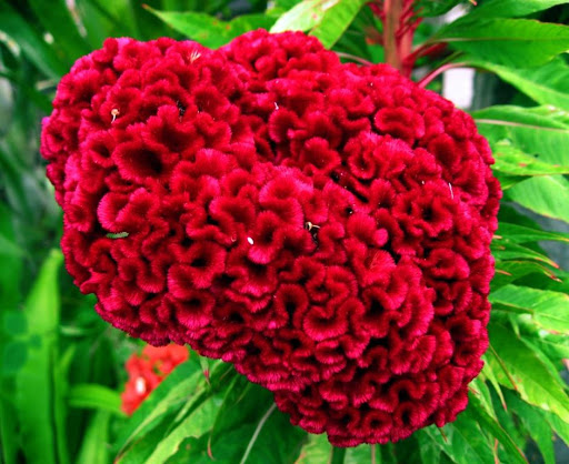 Crista-de-galo (Celosia cristata)