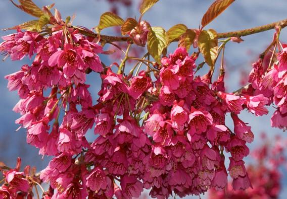 cerejeira de OKINAWA