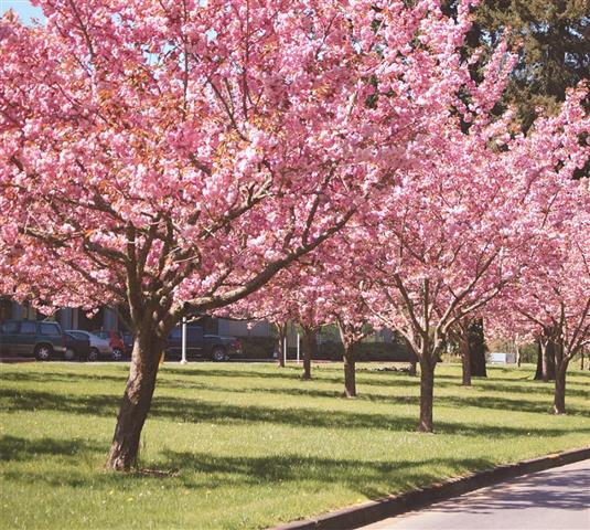 cerejeira-do-japão