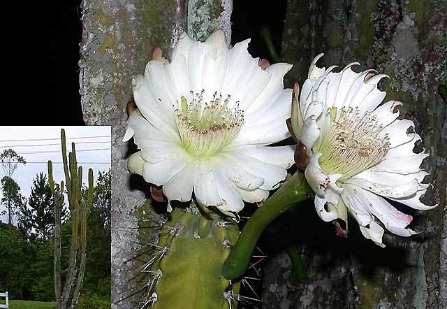 cereus-jamacaru