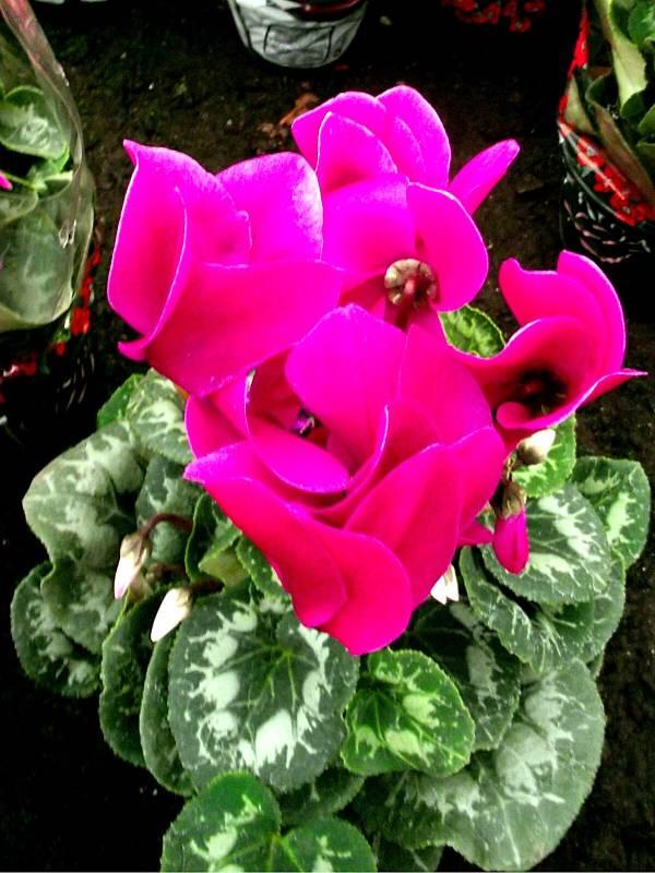ciclame-mini-cyclamen-flor
