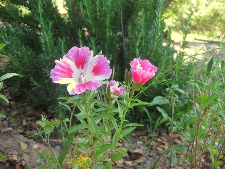 clarkia-amoena-f.pg