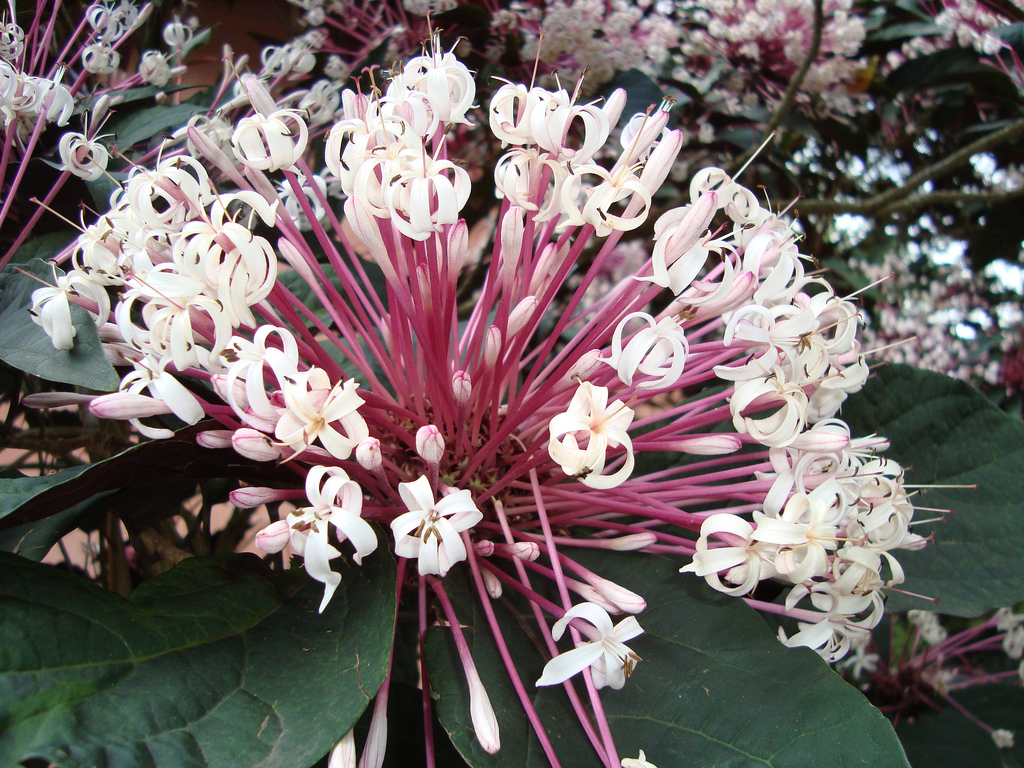 clerodendro-cotonete