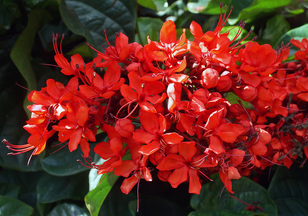 clerodendrum-splendens-flowers