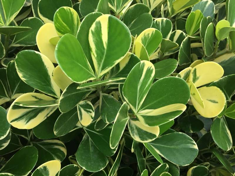 clusia-fluminensis variegada