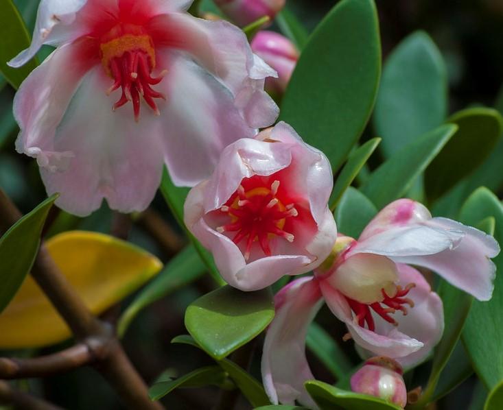 clusias-flores