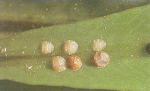 cochonilhas