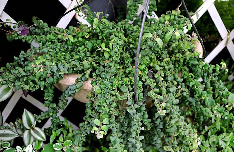 columeia-crespa-aeschynanthus-rasta