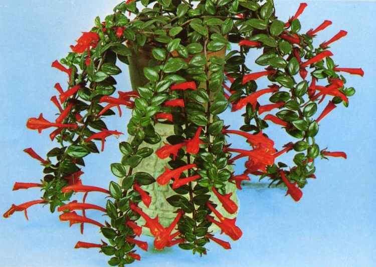 Columnea Microphylla