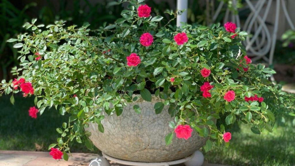 mini rosas-10