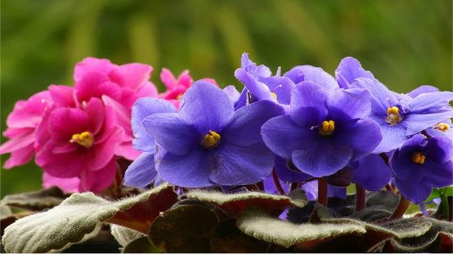 violetas_1-1