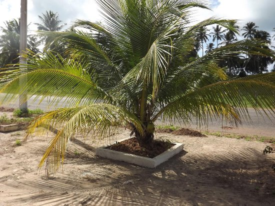coqueiro-anao