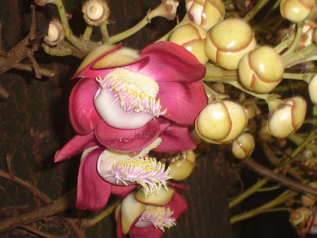 coroupita-guianensis