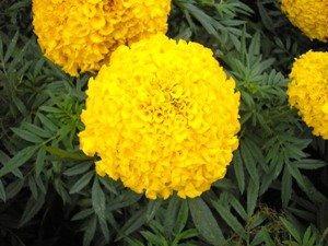 cravo_amarelo