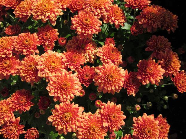Flores e folhagens plantasonya o seu blog sobre - Como cultivar crisantemos ...