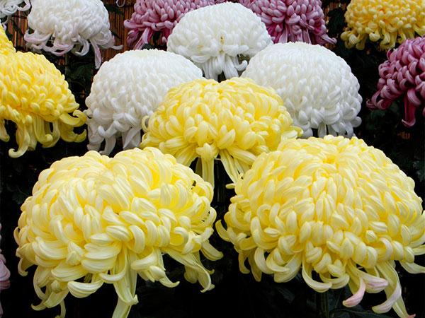 crisantemo  pompom