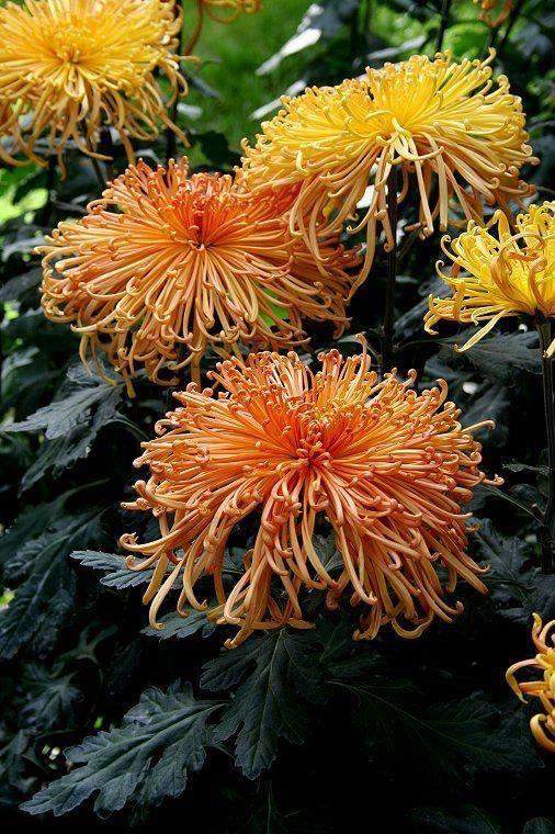 crisantemo1