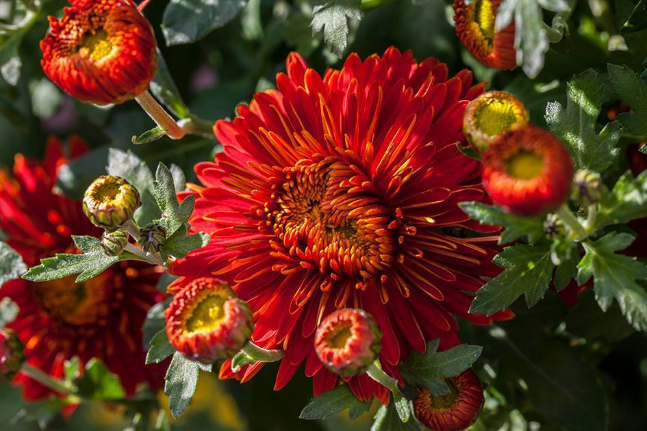 crisantemo99