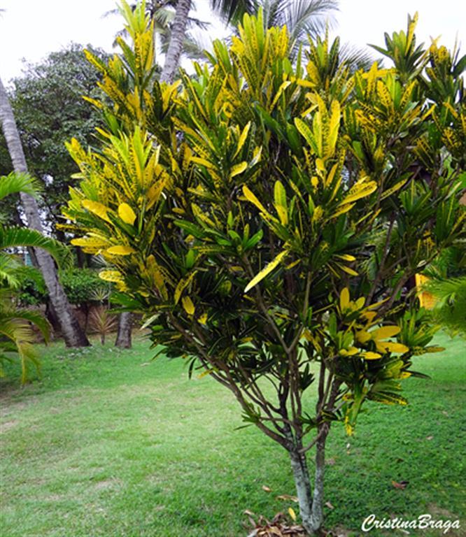 croton-codiaeum-variegatum