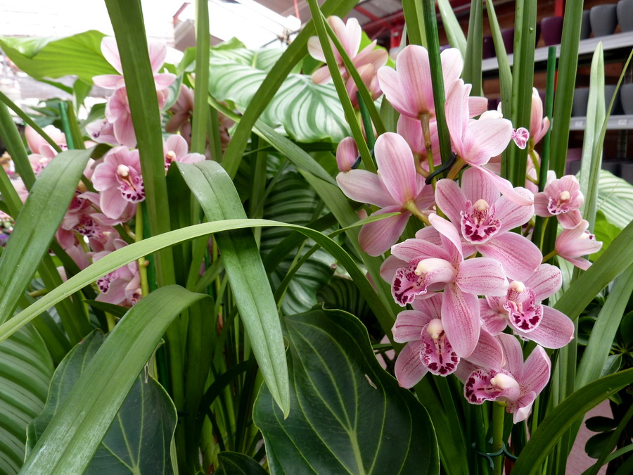 cymbidium-bordas