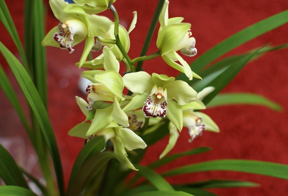 cymbidium-flor-verde-