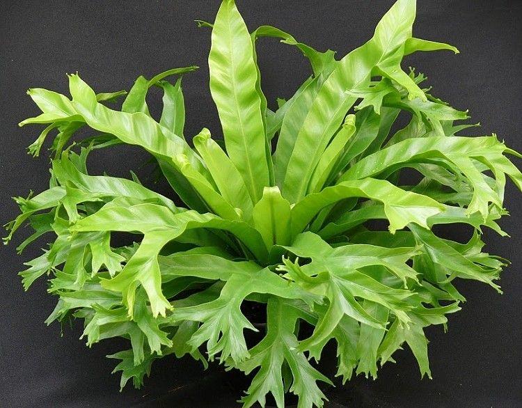 Asplenium nidus 'crissie'