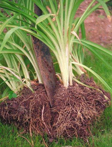 Daylily - Hemerocallis - clump division