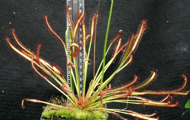 drossera campensis