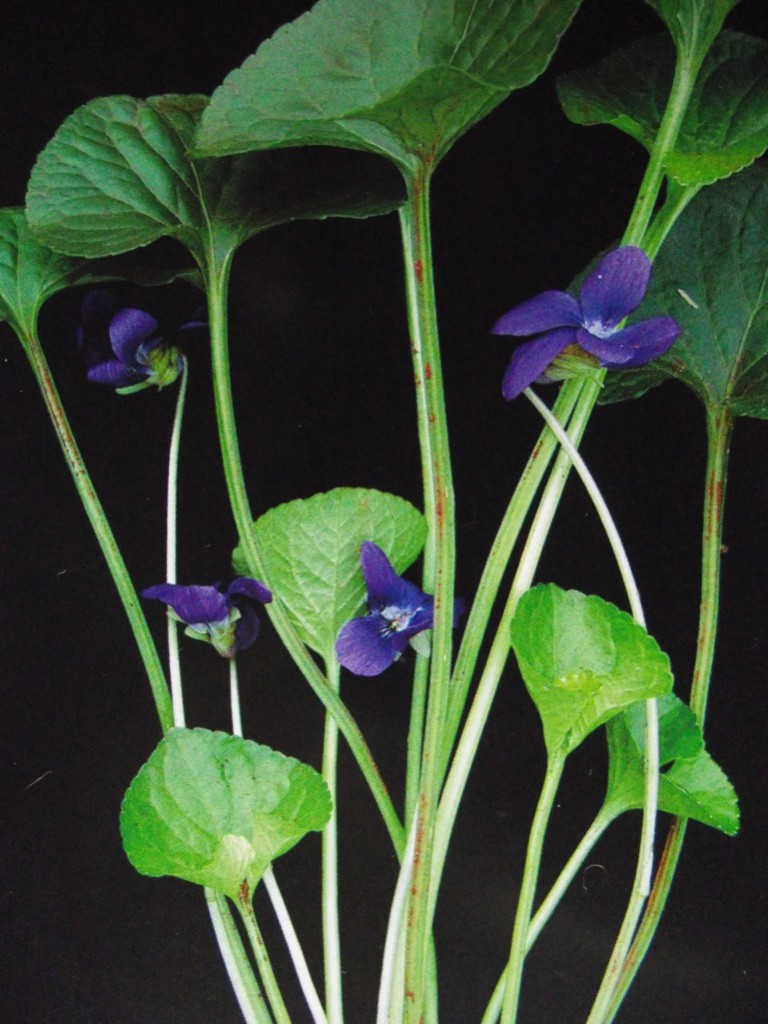 violeta odorata