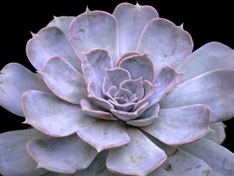 echeveria lilacina