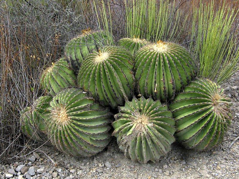 echinocactus-platyacanthus