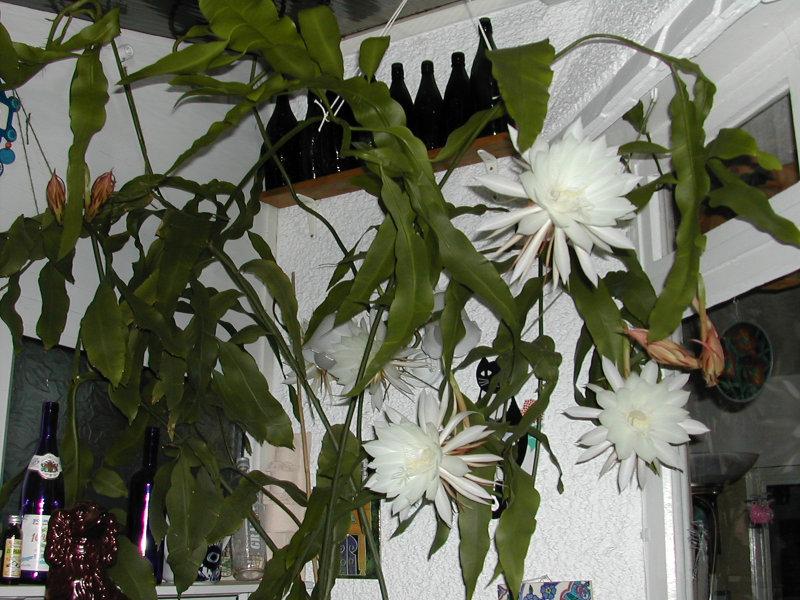 epiphyllum-oxypetalum-07