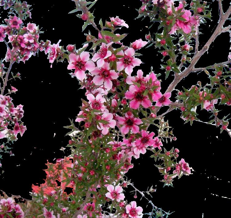 erica japonesa