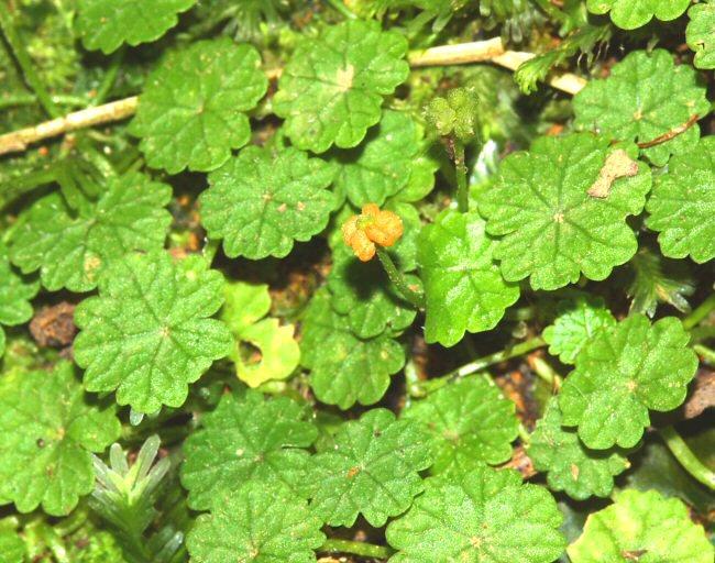 erva-tostão