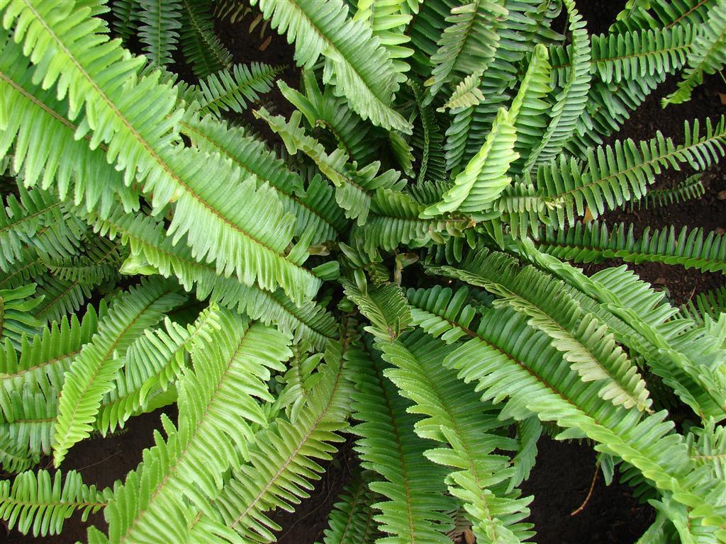 escadinha-do-céu (Nephrolepis cordifoliaa0