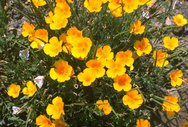eschscholzia_californica (Small)
