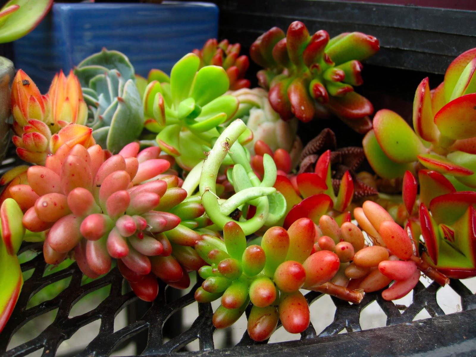 especies-de-plantas-suculentas