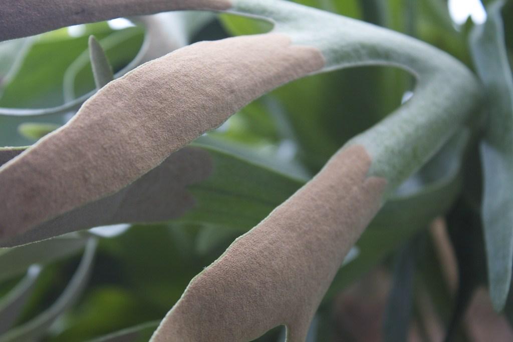esporos do Platycerium bifurcatum