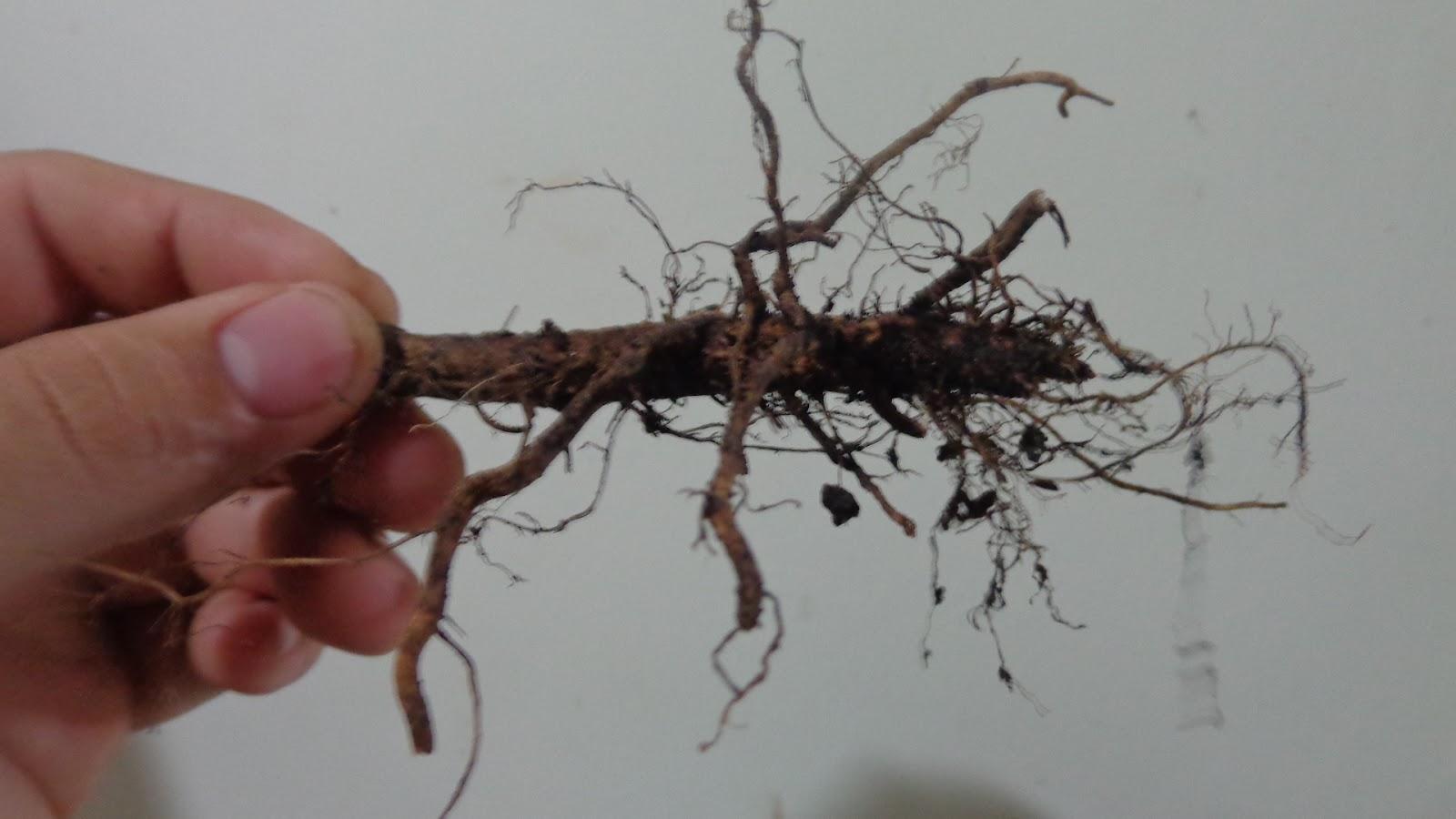 estaca de raíz