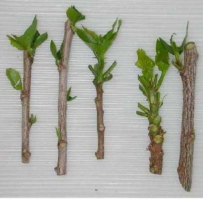 estacas hortensia