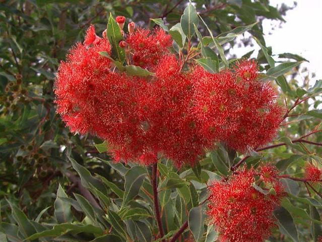 eucalyptus_ficifolia (Small)