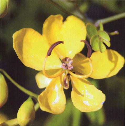 fedegoso-rasteiro (Small)